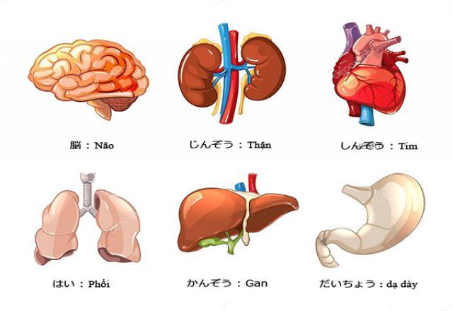 Từ vựng tiếng Nhật về nội tạng cơ thể con người